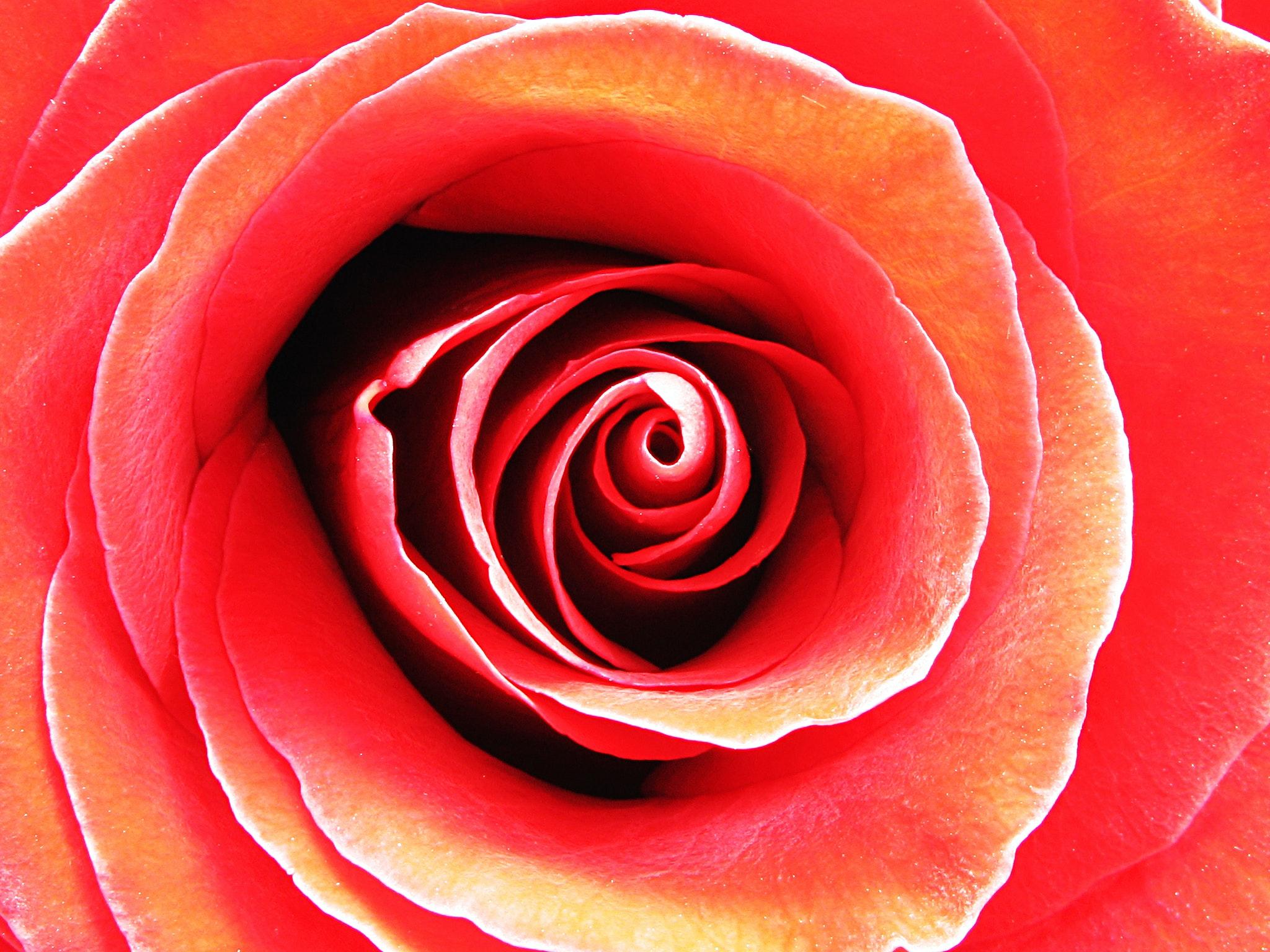 Rosa - Mariella Di Fano